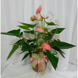 Anthurium from Shaw Florists in Grand Rapids, MN