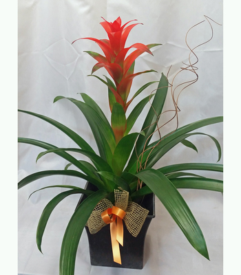 Bromeliad from Shaw Florists in Grand Rapids, MN