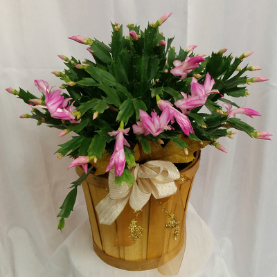 Holiday Cactus- Premium from Shaw Florists in Grand Rapids, MN