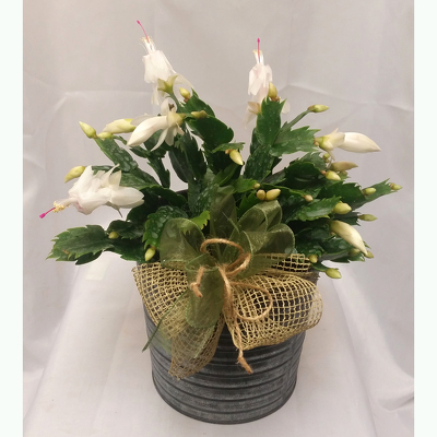 Holiday Cactus- Standard from Shaw Florists in Grand Rapids, MN