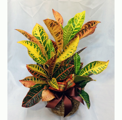 Croton from Shaw Florists in Grand Rapids, MN