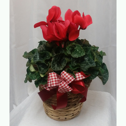Cyclamen- Red from Shaw Florists in Grand Rapids, MN