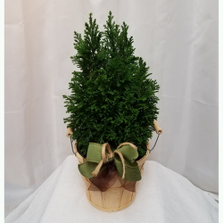 Cypress Tree from Shaw Florists in Grand Rapids, MN