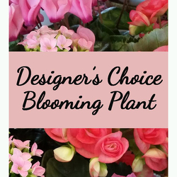 Designer's Choice Blooming Plant from Shaw Florists in Grand Rapids, MN