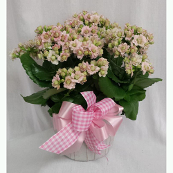 Kalanchoe- Pink from Shaw Florists in Grand Rapids, MN