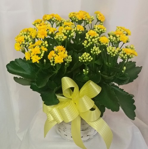 Kalanchoe- Yellow from Shaw Florists in Grand Rapids, MN