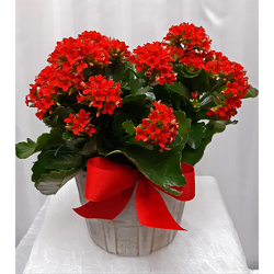 Kalanchoe from Shaw Florists in Grand Rapids, MN