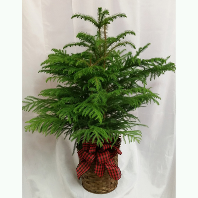Norfolk Island Pine Premium-Holiday from Shaw Florists in Grand Rapids, MN