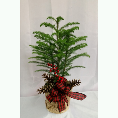 Norfolk Island Pine Standard-Holiday from Shaw Florists in Grand Rapids, MN