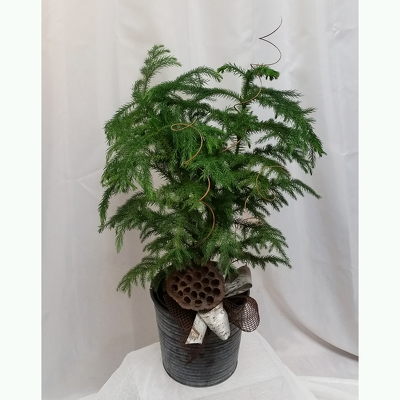 Norfolk Island Pine  from Shaw Florists in Grand Rapids, MN