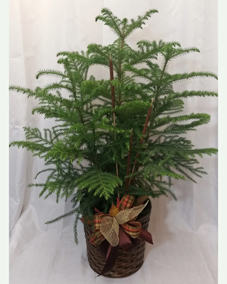 Norfolk-Island-Pine-Premium from Shaw Florists in Grand Rapids, MN