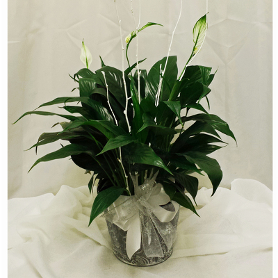 Peace Lily- Standard from Shaw Florists in Grand Rapids, MN