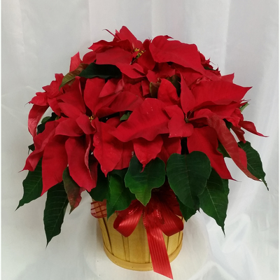 Poinsettia- Deluxe Red from Shaw Florists in Grand Rapids, MN