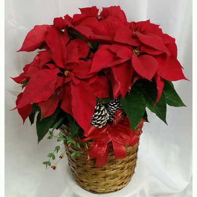 Poinsettia- Premium Red from Shaw Florists in Grand Rapids, MN