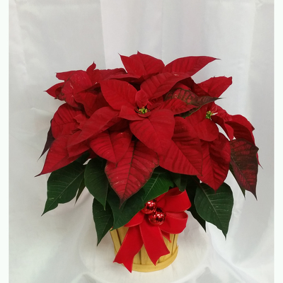 Poinsettia- Standard Red from Shaw Florists in Grand Rapids, MN