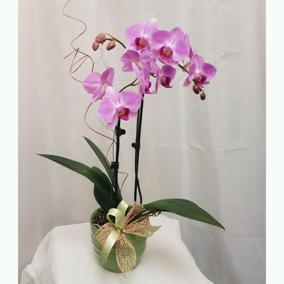 Phalaenopsis Orchid from Shaw Florists in Grand Rapids, MN
