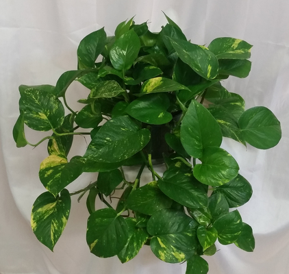 Pothos from Shaw Florists in Grand Rapids, MN